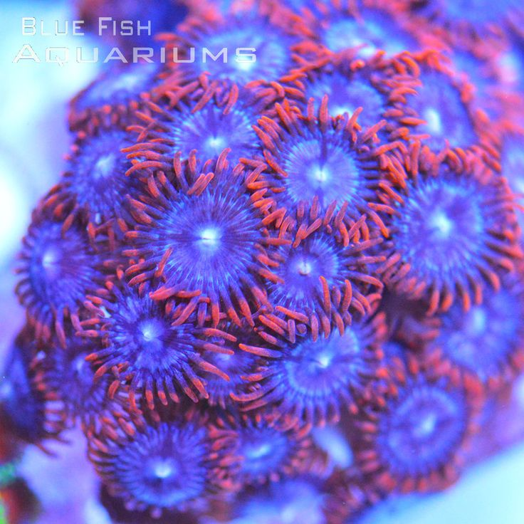 Fire and Ice: Zoanthus sp. - Live Coral For Sale