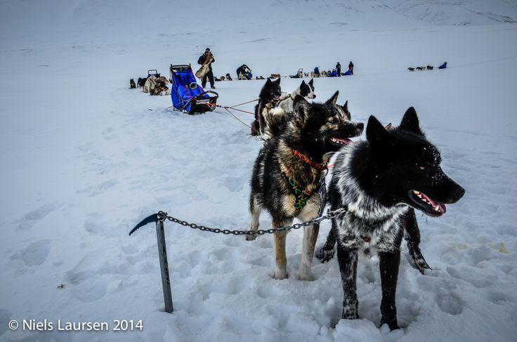 Huskies resting, Spitzbergen