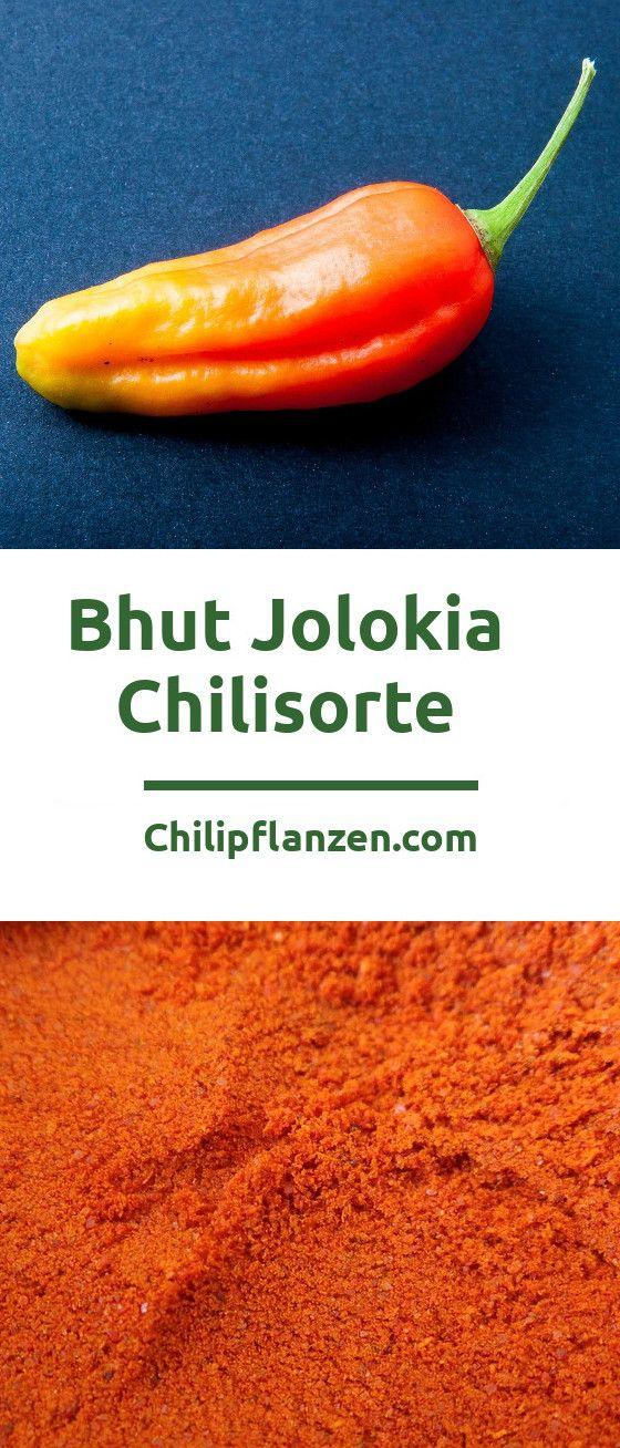 Bhut Jolokia, die Geister Chili, stand im Guinessbuch der Rekorde von 2007 bis 2011 als schärfste Chili der Welt. Es war auch die erste Chili, welche eine Million Scoville auf der gleichnamigen Skala geknackt hat. Noch vor 10 Jahren hielten es viele Chili-Kenner für unmöglich, dass eine Chili so scharf sein kann.