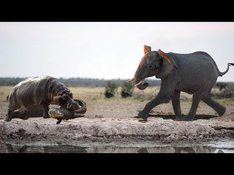 Amazing Elephant Rescue Crocodile From Hippo | Animals Save