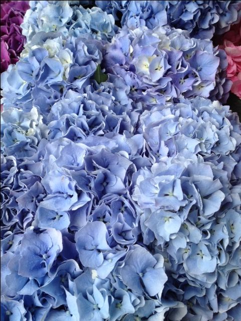 Hydrangea Challenge...Sold in bunches of 10 stems from the Flowermonger the wholesale floral home delivery service.