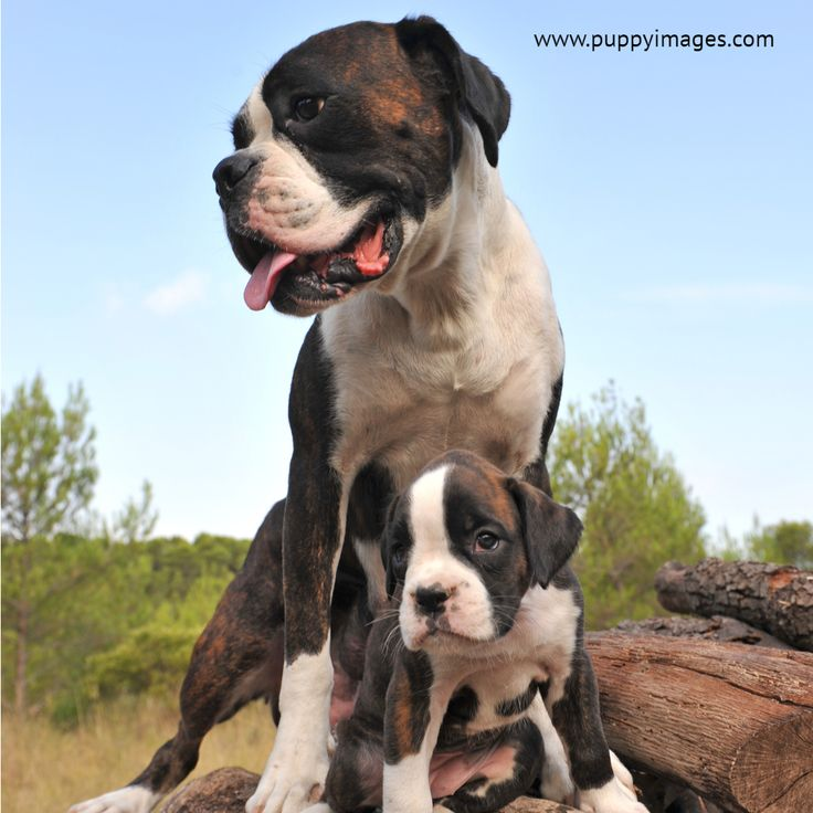 Purebred German Boxer Mother And Her Puppy Puppies Boxer Puppies Boxer Puppy