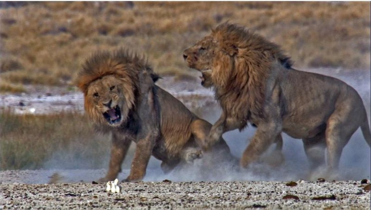animals competing for territory - 634×350