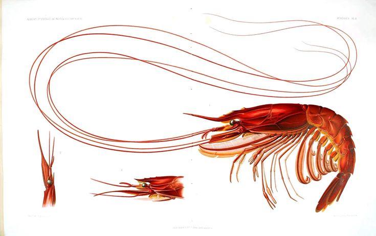 Animal - Crustacean - Educational plate, shrimp 2