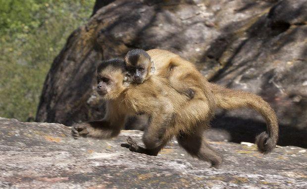 Macaco-prego (Cebus libidinosus)  Os macacos-prego receberam seu nome devido ao formato do pênis dos machos. São os únicos macacos das Américas capazes de utilizar ferramentas para facilitar a exploração de recursos. A espécie encontrada na Caatinga utiliza pedras para quebrar coquinhos e comer as sementes.