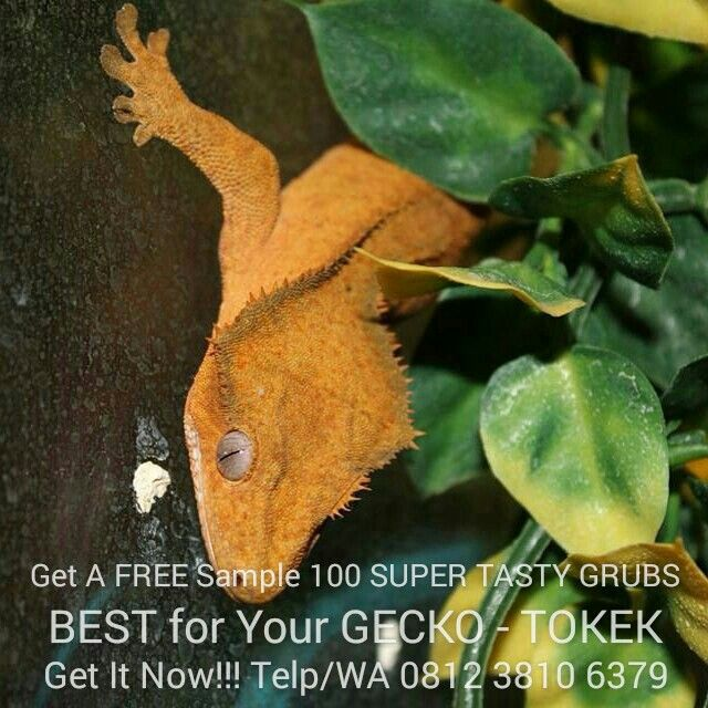 Get a FREE SAMPLE 100 SUPER TASTY LIVE GRUBS, Best for GECKO - TOKEK --Call/WA 0812 3810 6379-- (Grubs) Maggot Black Soldier Fly as Recyclers of Waste and Possible Livestock Feed, If Black Soldier Fly Larvae could enter competitive eating contests, they would excel, especially when it comes to eating nasty stuff that we don't want around or wouldn't think of eating ourselves. Then, after the larvae had eaten, they could be recycled as feed for livestock.