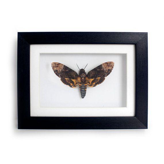 REAL Death Head Moth in 5x7 Frame  Acherontia by TaxidermyArt