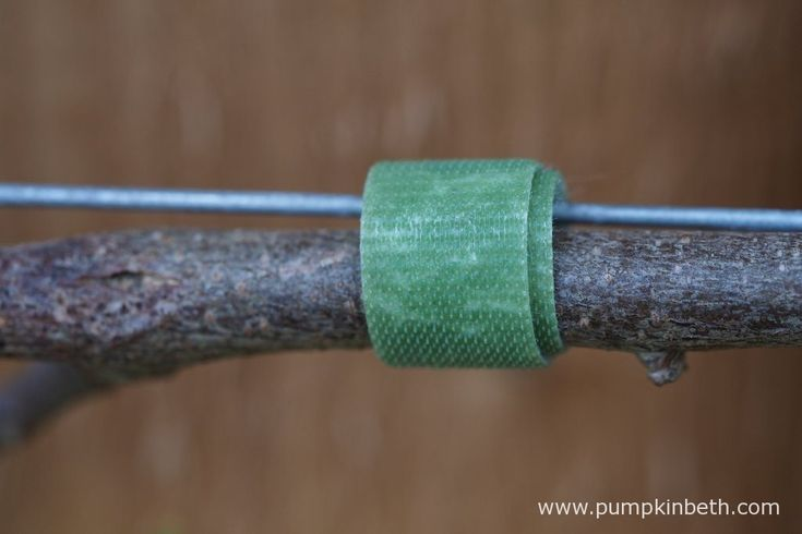 Velcro One-Wrap Plant Ties securing Wisteria along a wire.