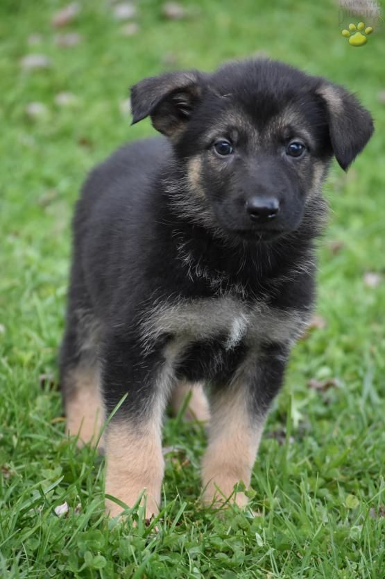 Pin By Anne Sing On Dogs Big German Shepherd Dogs Puppies