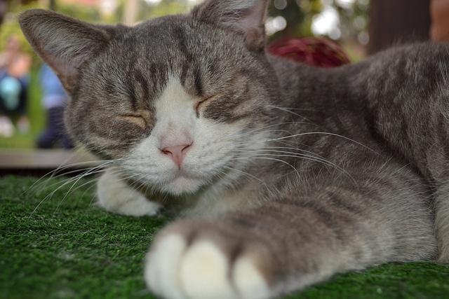 Panaca-cat