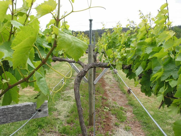 #Harewood vineyard close-up #lyre trellis  (#RNAWA13)