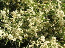 Acacia melanoxylon - Blackwood 15 seeds