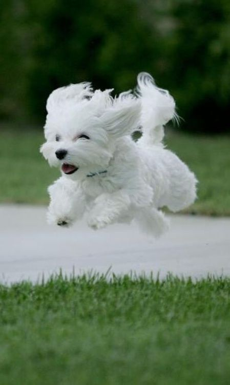 Top 5 Smallest Dog breeds. I love this photo of this adorable Maltese in motion. Such pure joy on her face.