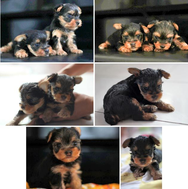 Jual Anjing Yorkshire Terrier Good Quality - Anjing Dijual - AnjingKita.Com  http://www.anjingkita.com/wmview.php?ArtID=21280