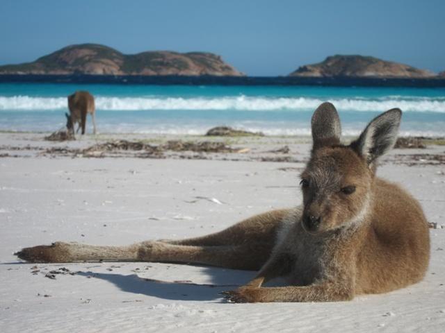 Kangaroos visit the beach in Lucky Bay, Esperance WA