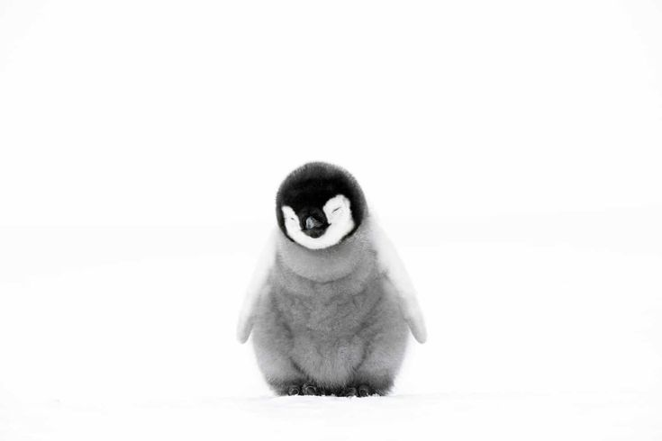 The week in wildlife – in pictures A four-week-old emperor penguin chick in Atka Bay, Antarctica. From this age on, parents increasingly encourage their young to leave the pouch and stand on their own two feet Photograph: Stefan Christmann/NHU/BBC Cute Baby Penguin, Penguin Art, Cute Penguins, Baby Animals Pictures, Cute Animal Pictures, Penguin Pictures, Fluffy Animals, Animals And Pets, Munier