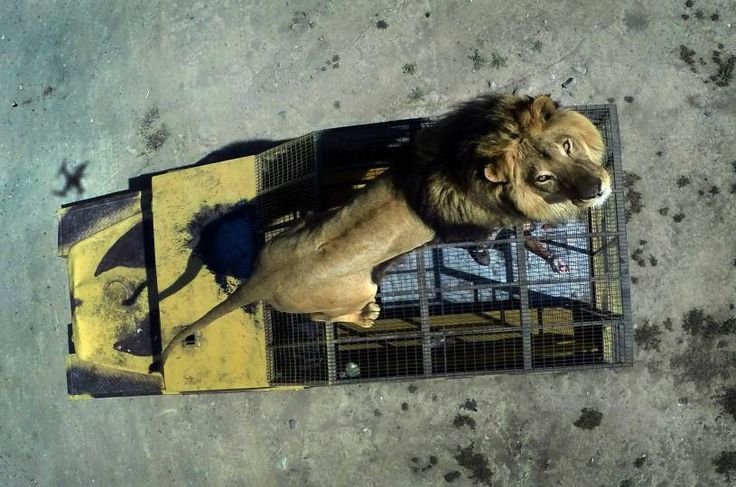 Top view of a lion on the cage of a vehicle at the Safari Lion Zoo in Rancagua, Chile, Oct. 30, 2014.