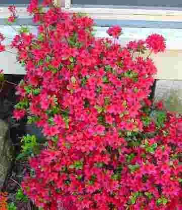 58 best azaleas images on