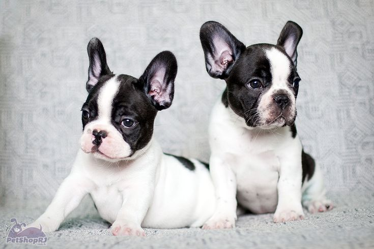 O festivo Buldogue Francês - Pet Shop RJ