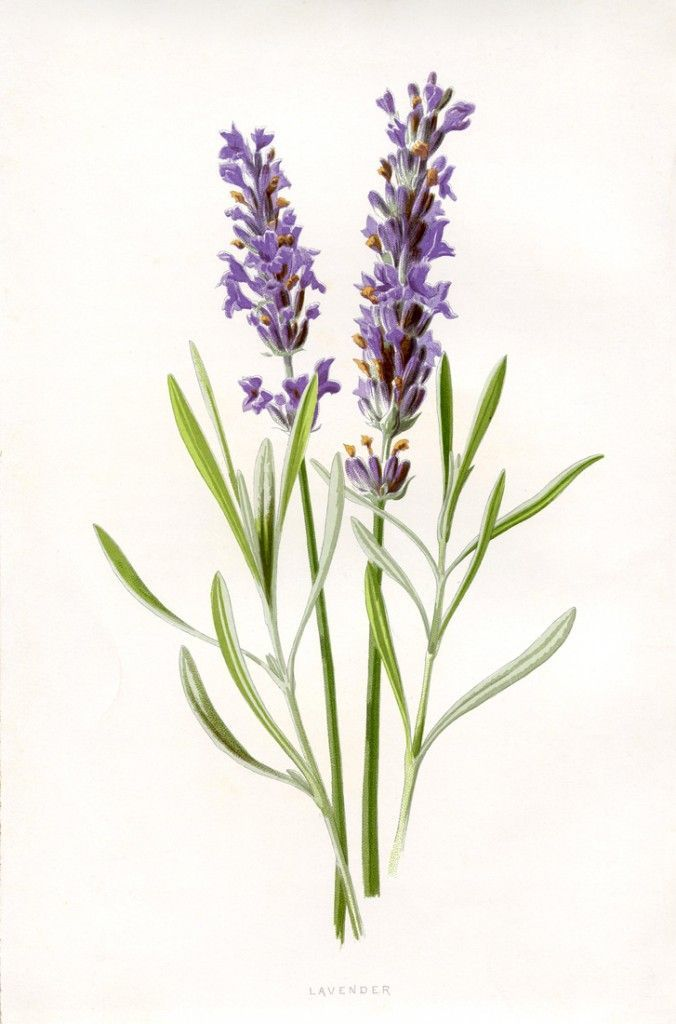 Beautiful Lavender Botanical Printable