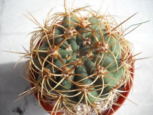 25 best ideas about nombres de cactus en pinterest for Informacion sobre el cactus