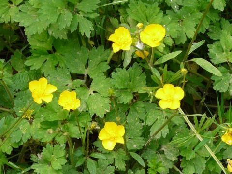Creeping Buttercup: running wild | Nature Notes from Dorset