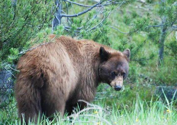 Medvědi v amerických národních parcích
