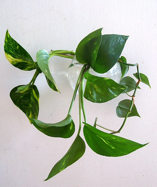 How to propagate golden pothos