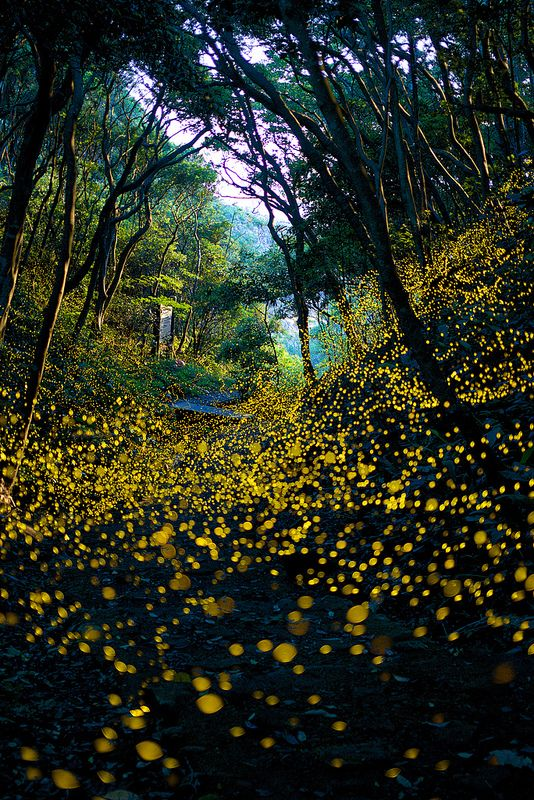 Into The Dream - See the Firefly wild dance, Wakayama, Japan. Just look at them all!