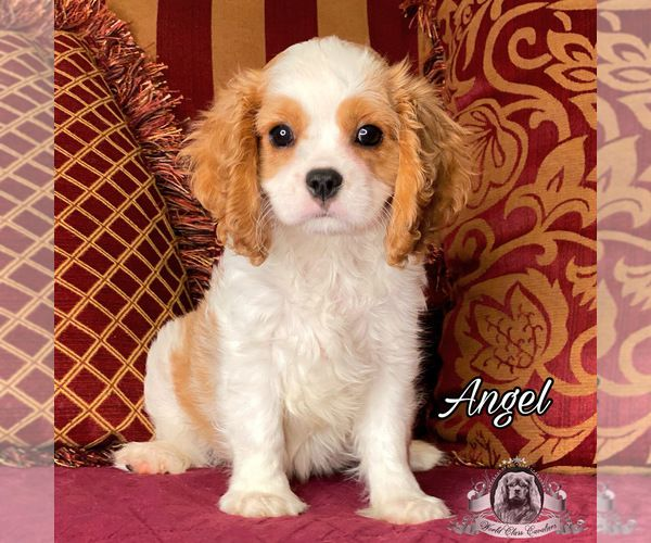 Cavalier King Charles Spaniel Puppy For Sale In Miami Fl Usa Adn 158794 On Pupp Spaniel Puppies King Charles Cavalier Spaniel Puppy Spaniel Puppies For Sale
