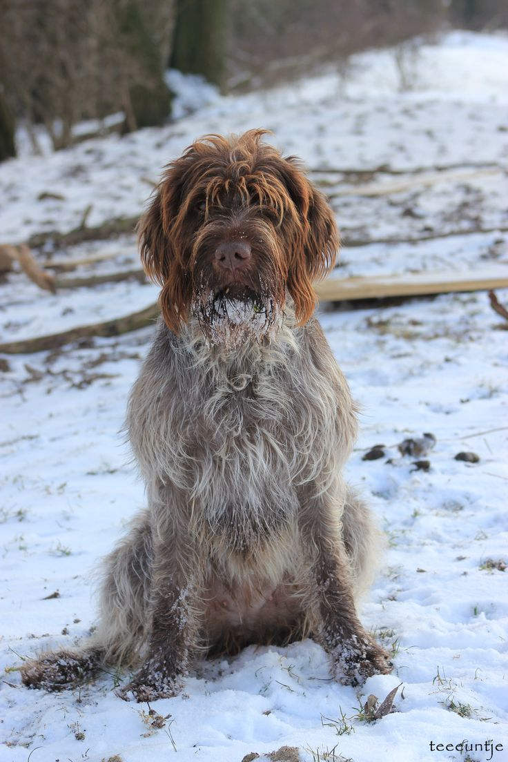 My Wirehaired Pointing Griffon; Roos Wire fox terrier