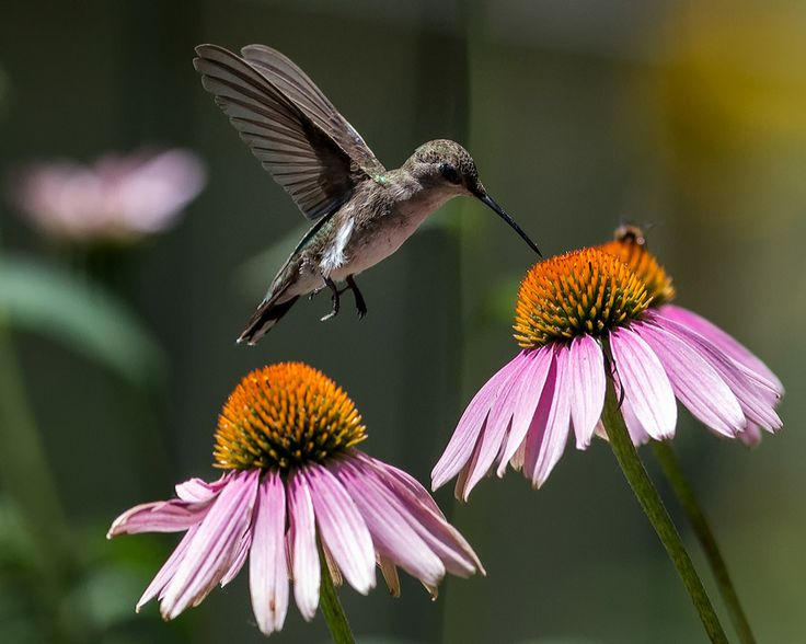 "Hummingbird with Purple Coneflower"" by Michael Smith"