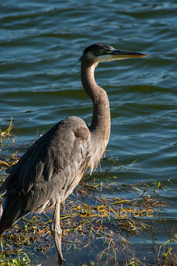 Great Blue Heron, Water Bird, Bird, Tuscawilla Park
