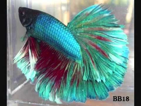 Best 20 fish care ideas on pinterest pet fish fish for How to care for betta fish