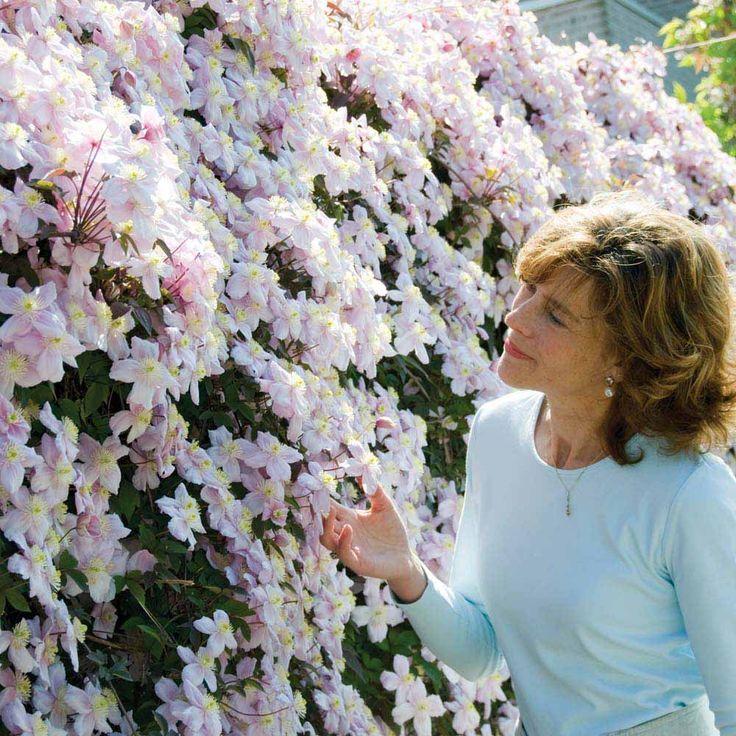 roses that climb on fence   Clematis montana 'Mayleen' - Climbing Plants - Van Meuwen