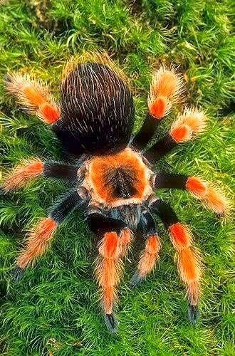Tarântula bicolor. Theraphosidae é uma família de aranhas, que inclui as espécies conhecidas pelos nomes comuns de tarântulas ou caranguejeiras, que se caracterizam por terem pernas longas com duas garras na ponta, e corpo revestido de cerdas.