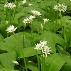 Medvehagyma - Allium ursinum  Levelei kora tavasszal, márciusban jelennek meg és nyár közepén visszahúzódnak.