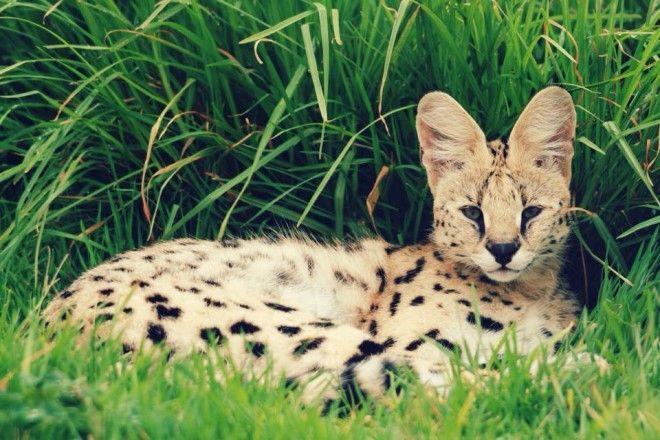 Zanchieta Wild Cat Farm Bloem