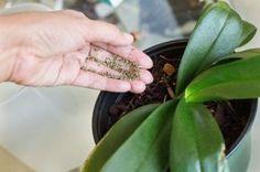 Las orquídeas se han ganado un lugar muy especial en el corazón de muchos jardineros a lo largo de los dos últimos siglos sobre todo. Sus 600 géneros y sus más de 30.000 especies son un indicador d…