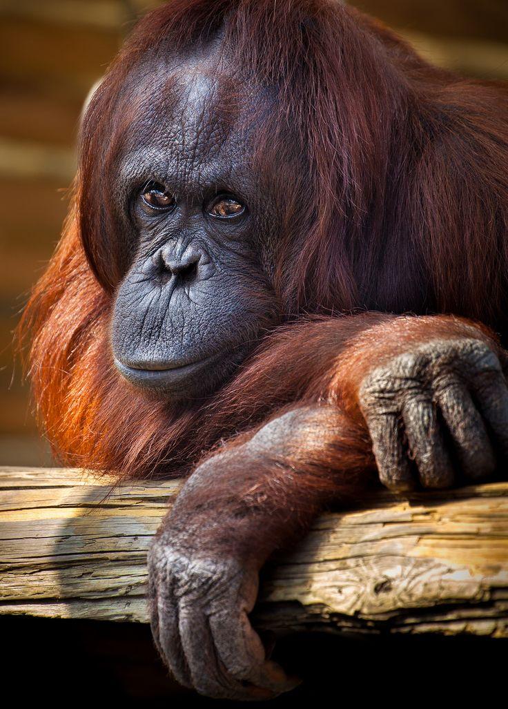 Randee   Orangutan, Animals beautiful, Cool pets