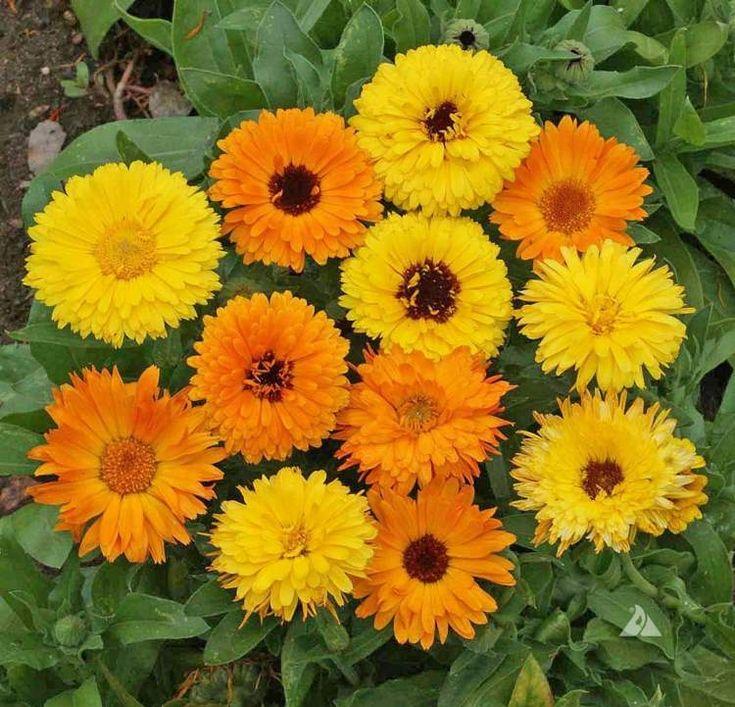 plante plein soleil différentes-espèces-soucis-genre-Calendula