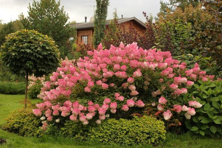best 25 hydrangea paniculata vanille fraise ideas on. Black Bedroom Furniture Sets. Home Design Ideas