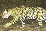 jaguar killings test the conservation movement in Mexico