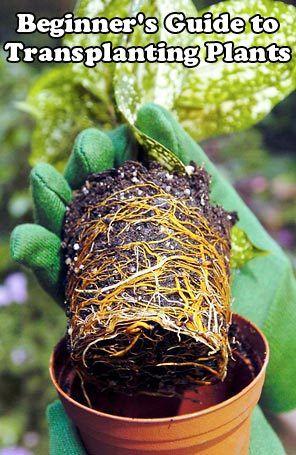 Beginner's Guide to Transplanting Plants