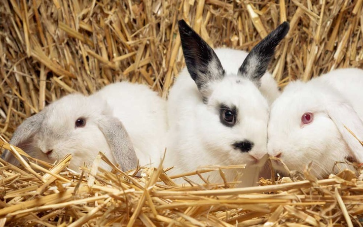30 best images about different breeds of rabbits on pinterest