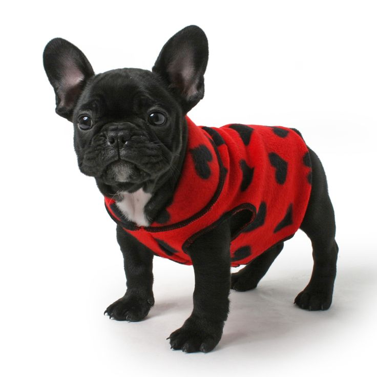 I think I'm in love! #Frenchie #FrenchBulldog #puppies #dogs #pets