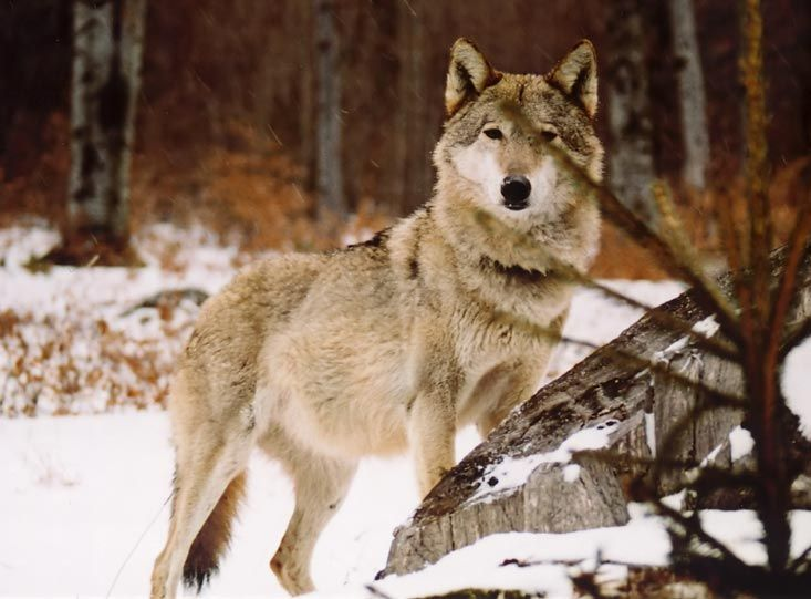 #Wildlife in Romania http://www.wonderfulromania.ro/wp-content/uploads/2012/07/wolf-1.jpg