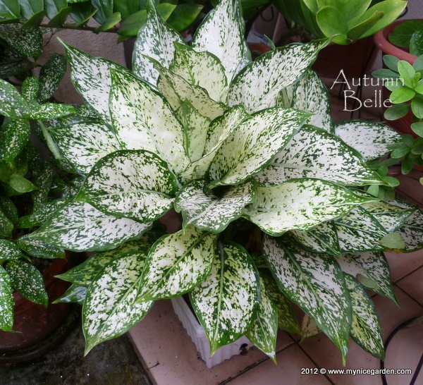 Any Of The Araceae This One Is Foxs Aglaonema Gardening