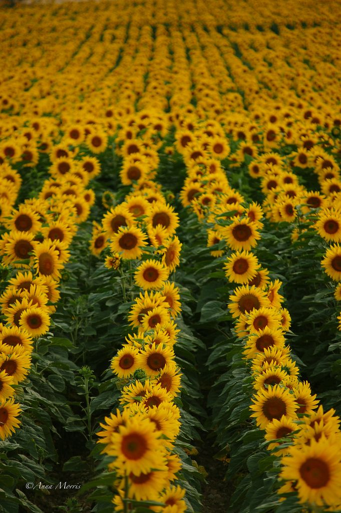 Run Through Sunflowers