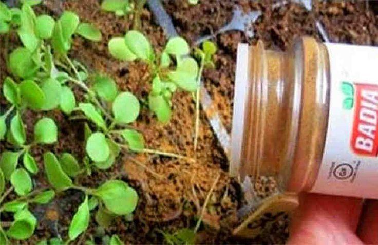 Resulta que la canela también se puede emplear en jardinería. #plantas #fungicida #jardineria